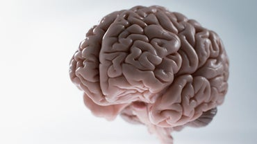 What Is the Average Weight of the Human Brain?