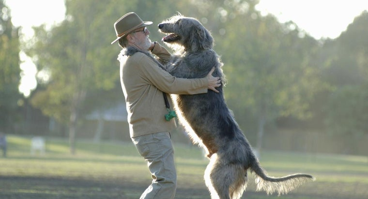 What Is the Average Weight of an Irish Wolfhound?