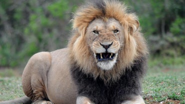 What Is the Average Weight of a Male Lion?