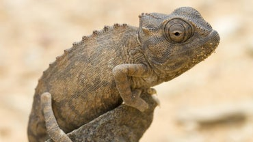 What Is a Baby Chameleon Called?