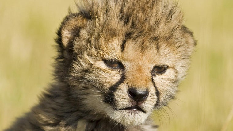 What Is A Baby Cheetah Called Reference Com