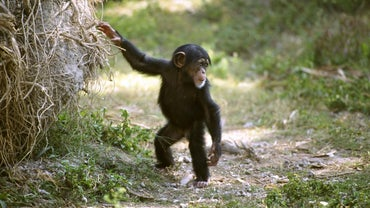 Why Do Baby Chimps Play With Dolls?