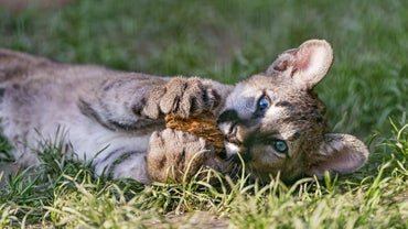 What Is a Baby Cougar Called?
