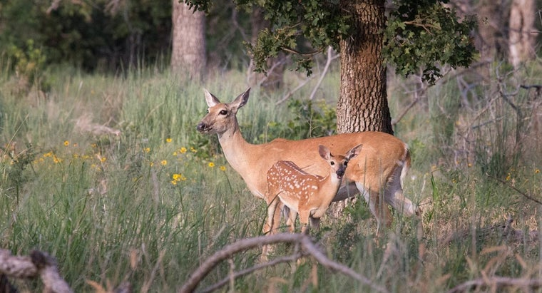 What Is a Baby Deer Called?