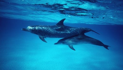 What Are Baby Dolphins Called?