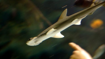 When Are Baby Hammerhead Sharks Born?