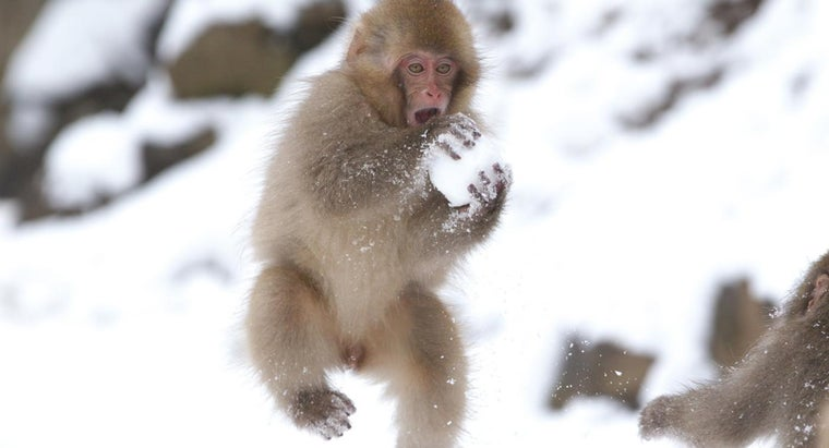 Why Do Baby Japanese Macaques Make Snowballs?