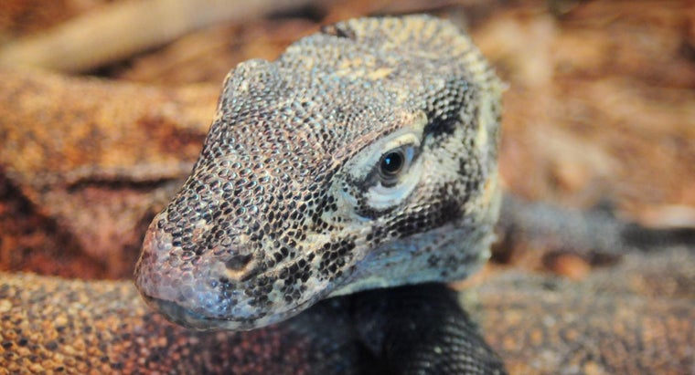 What Is a Baby Komodo Dragon Called?