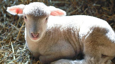 What Is a Baby Lamb Called?