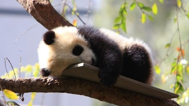 What Are Baby Pandas Called?
