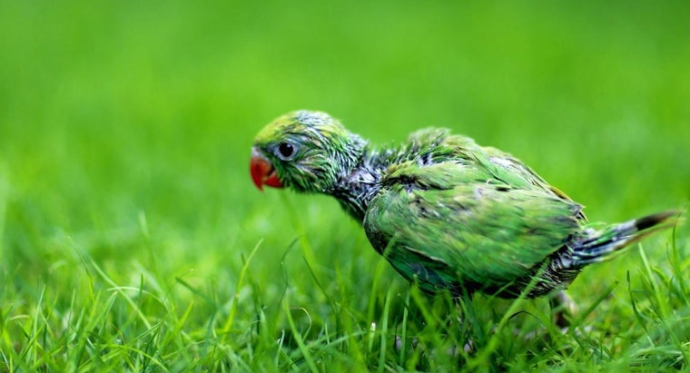 What Is a Baby Parrot Called?