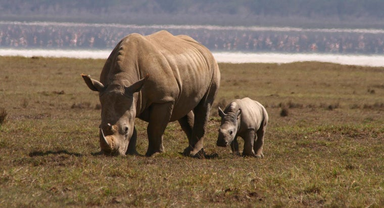 What Is a Baby Rhino Called?