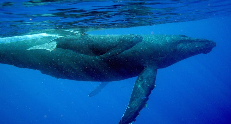 How Do Baby Whales Drink Milk From Their Mothers?