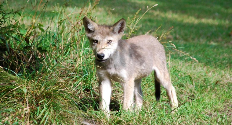 What Are Baby Wolves Called?
