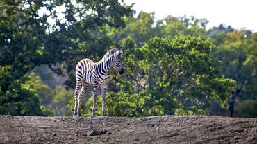 What Is a Baby Zebra Called?