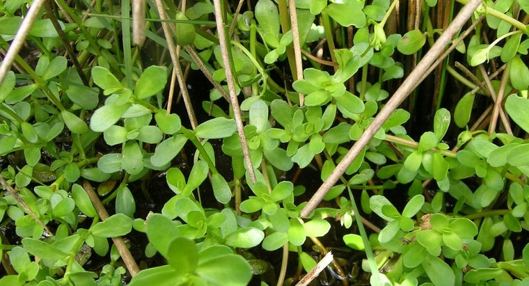 What Are Bacopa Herbs?