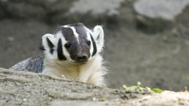 What Do Badgers Eat?