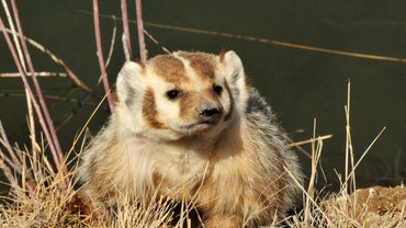 What Do Badgers Look Like?