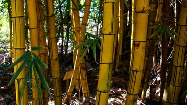 Why Do Bamboo Stalks Turn Yellow?