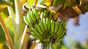How Do Bananas Reproduce?