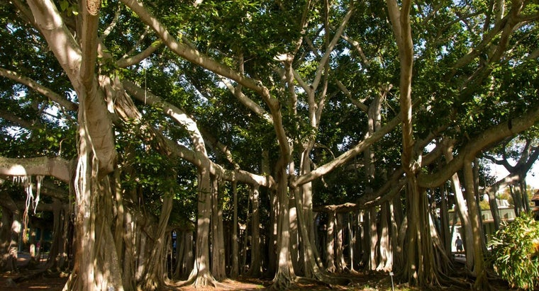 Where Do Banyan Trees Grow?