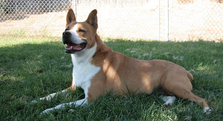 What Does a Basenji Mix Look Like?