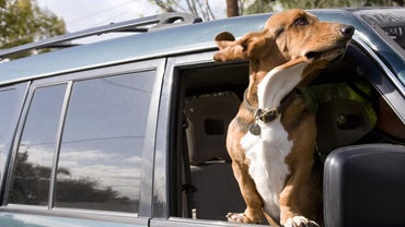 Why Do Basset Hounds Smell Bad?