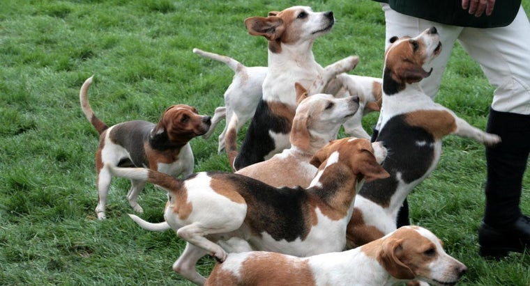 What Is a Beagle Harrier?