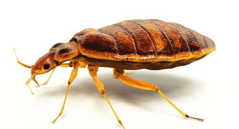 What Does Bed Bug Rash Look Like?