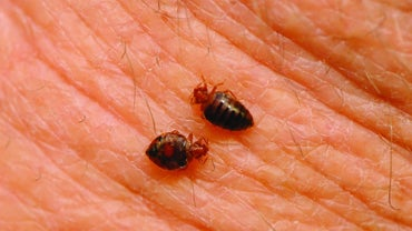How Do Bedbugs Spread?