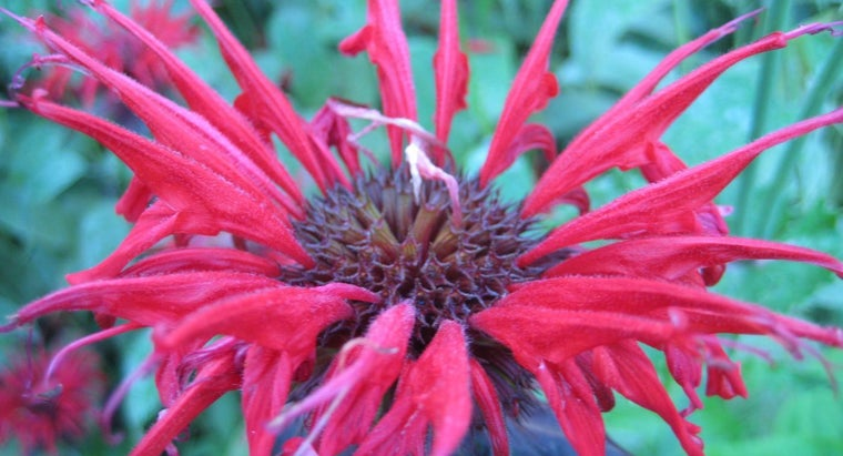 What Are Some Bee Balm Uses?