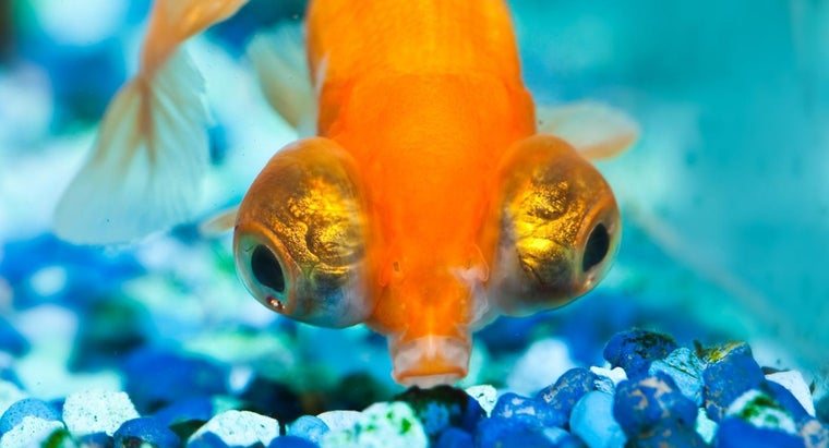 What Are Big-Eyed Goldfish?