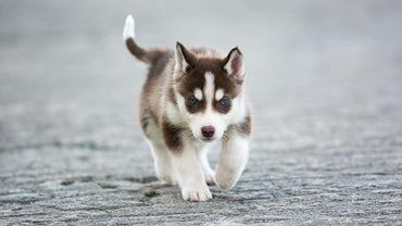 How Big Does a Fully Grown Mini Husky Dog Get?