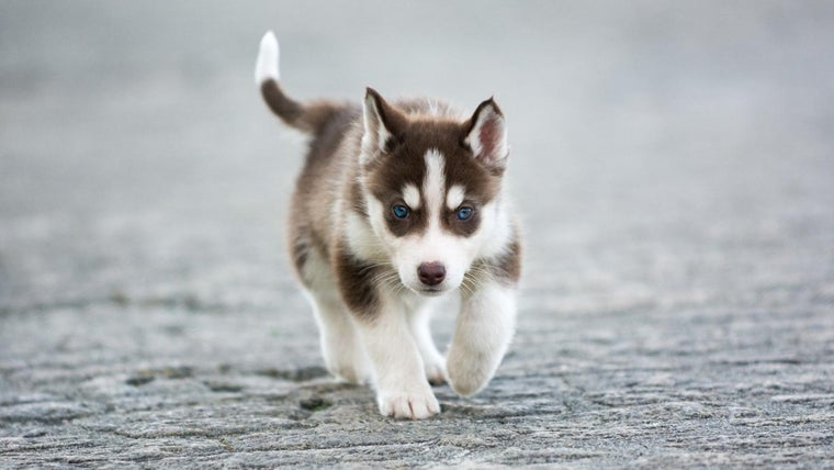 How Big Does A Fully Grown Mini Husky Dog Get Reference Com