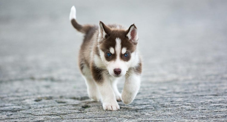 How Big Does A Fully Grown Mini Husky Dog Get Referencecom