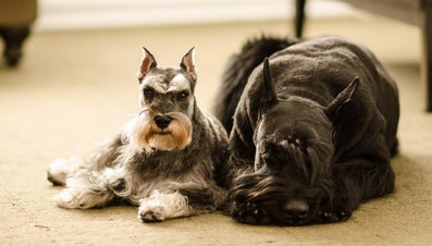 What Are Some Big Hypoallergenic Dogs?