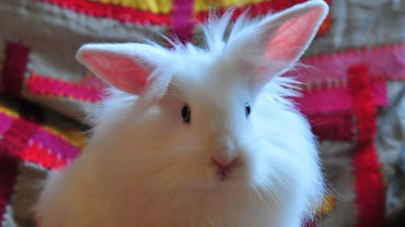 How Big Does a Lionhead Rabbit Get?