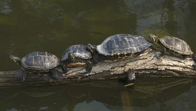 How Big Do Yellow-Bellied Turtles Get?