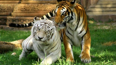 What Biome Does the White Tiger Live In?