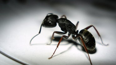 Do Black Ants Bite People?