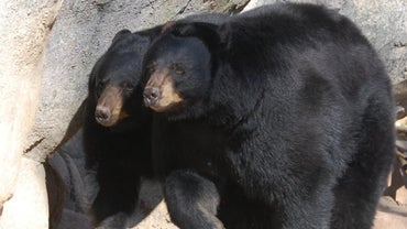 What Do Black Bears Look Like?