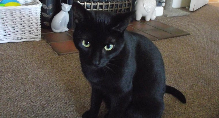 What Is a Black Bombay Cat?
