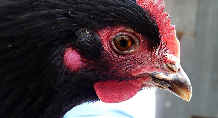 What Is a Black Chicken?