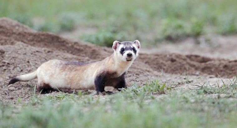 Why Is the Black-Footed Ferret Endangered?