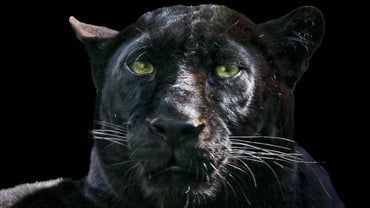 How Does a Black Panther Protect Itself?