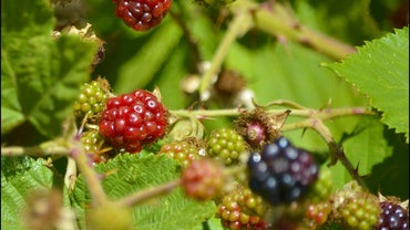 Where Do Blackberries Grow?