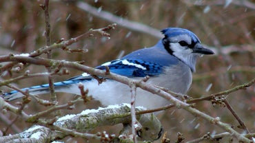What Does a Blue Jay Symbolize?