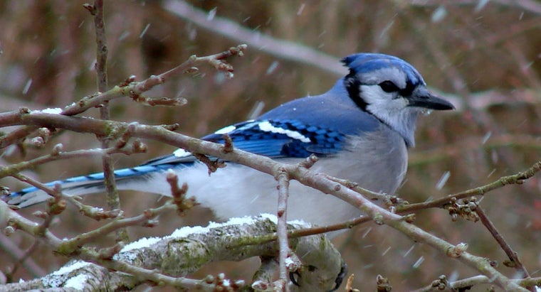 What Does A Blue Jay Symbolize Referencecom
