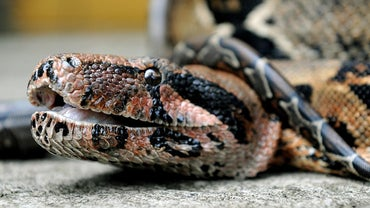 What Do Boa Constrictors Eat?