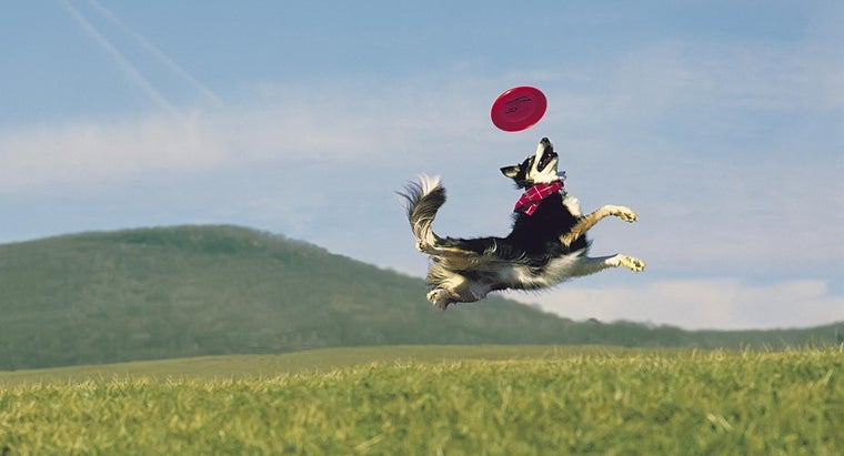 What Are Some Border Collie Tricks?